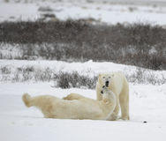 The couple of polar bears relaxes. Stock Images