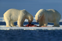Couple of polar bears tearing hunted bloody seal skeleton in Arctic Svalbard Stock Images