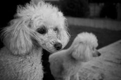Couple of poodle. A close sight of a poodle couple Stock Photo