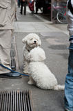 Couple of poodle Royalty Free Stock Image