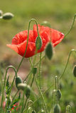 Couple of poppies. Wild flowers in the field - close up with blurred background Royalty Free Stock Image