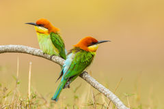 Couple of Portrait Chestnut-headed Bee-eater Stock Photography