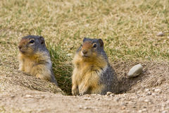 Couple of Prairie Dogs Royalty Free Stock Image