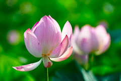 A  couple of pretty lotus Royalty Free Stock Image