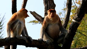Couple of proboscis monkeys stock footage