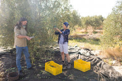 Couple pruning olive tree in farm Stock Image