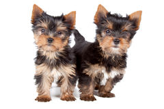 Couple of puppies Royalty Free Stock Photo