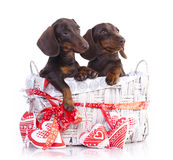Couple puppies dachshund. Chocolate colors Stock Photo