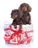 Couple puppies dachshund. Chocolate colors Royalty Free Stock Photography