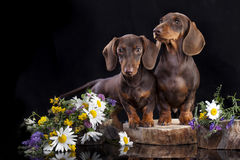 Couple puppies dachshund. Tvo dachshund chocolate puppy and flowers Royalty Free Stock Images