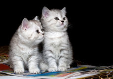 Couple of  pure-bred british kittens Stock Image