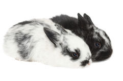 Couple rabbit Royalty Free Stock Photo