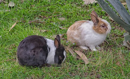 Couple of rabbits in the countryside Stock Images