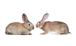 Couple of rabbits faced Stock Photos