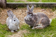 Couple of rabbits. Pair of rabbits on the grass in their cage Royalty Free Stock Photos