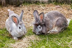 Couple of rabbits Royalty Free Stock Photography