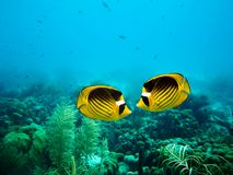 Couple of Raccoon Butterfly fish Stock Image