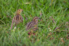 Couple of Rain Quail Stock Image