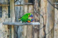 Couple of Rainbow lorikeets mating, Stock Photo