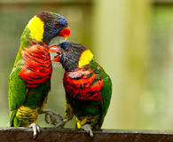 Colorful Birds. A couple of Rainbow Lorikeets teasing each other royalty free stock images