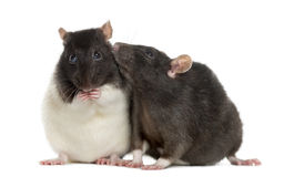 Couple of rats sitting and sniffing. Isolated on white Stock Photo