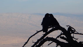 Couple of ravens. In love on top of the California desert nearby Palm Trees city royalty free stock images