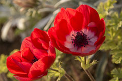 Couple of Red anemone Flowers in the garden. Closeup Royalty Free Stock Images