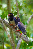 Couple of Red-billed blue magpie Royalty Free Stock Photography