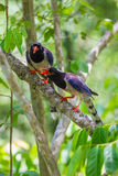 Couple of Red-billed blue magpie Stock Images