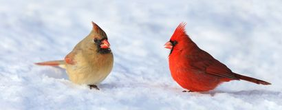 Couple of red cardinal in snow. Couple of red cardinal in nature during winter royalty free stock image
