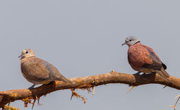 Couple of Red collared dove Royalty Free Stock Image