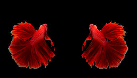 Couple red dragon siamese fighting fish, betta fish isolated on. Black background royalty free stock image