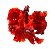 Couple red dragon siamese fighting fish, betta fish isolated on. Mix red dragon siamese fighting fish emotion image, betta fish isolated on white background stock image