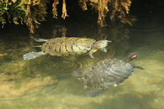 Couple of red-eared slider Royalty Free Stock Photo