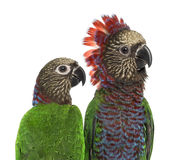Couple of a Red-fan parrot isolated on white. Close-up of a Couple of Red-fan parrot Deroptyus accipitrinus, isolated on white stock photos