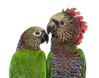 Couple of Red-fan parrot isolated on white. Couple of Red-fan parrot Deroptyus accipitrinus isolated on white royalty free stock photos