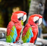 Couple of Red and green macaw. Red green blue macaw Royalty Free Stock Photo