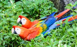 Couple of Red and green macaw. Red & blue parrot Royalty Free Stock Photo