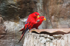 Couple of Red-Lory birds Royalty Free Stock Images