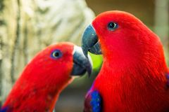 Couple of red parrots Royalty Free Stock Image