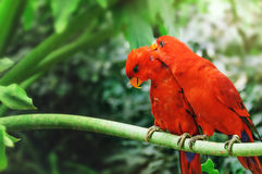 A couple of red parrots sitting on a branch,. And take care of each other. Electus roratus Royalty Free Stock Image