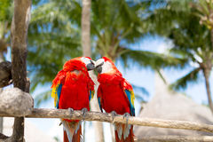 Couple of red parrots sitting on perch