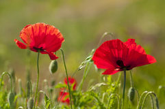 Couple of red poppies. In a field on green background Royalty Free Stock Image