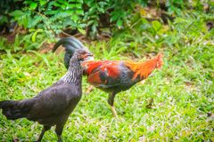 A couple of red rooster and black hen is courting and finding fo Royalty Free Stock Photography