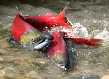 A couple of red salmon royalty free stock photo
