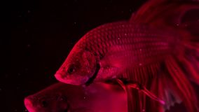 Couple of red siamese fighting fish - betta splendens. Aquarium fish swimming in front of isolated black background stock video