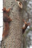 Couple of red squirrels Royalty Free Stock Photo