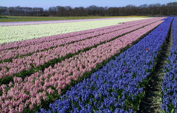 Couple of  red tulips  lost in field with hyacinth. In springtime the western part of Holland, the area just behind the dunes, becomes a colorful carpet. It's Royalty Free Stock Photography
