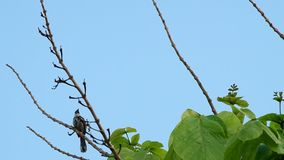 A couple of red-whiskered bulbul is resting. On the plant shoot and flying away stock footage