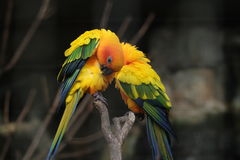 COUPLE RED AND YELLOW BARBET Stock Photo